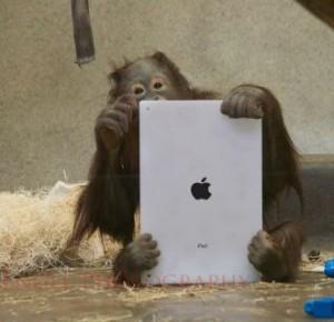 iPad usado en orangutanes